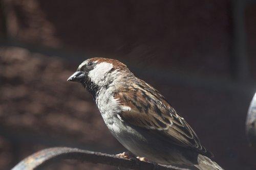 sparrow  tree sparrow  bird