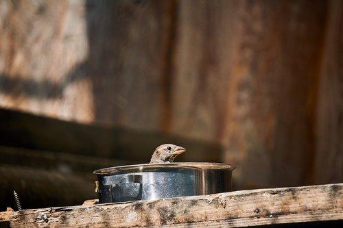 sparrow  bird  pot