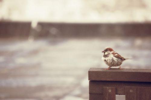 sparrow bird rain