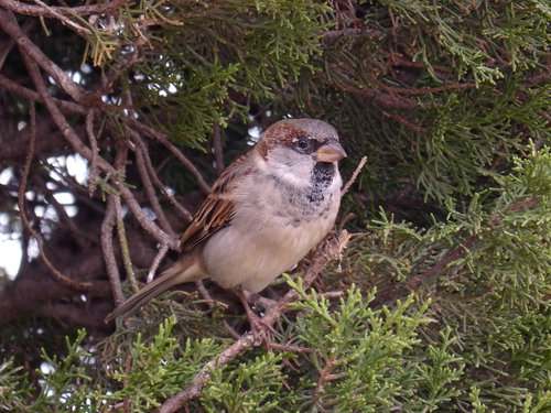sparrow  seto  bird