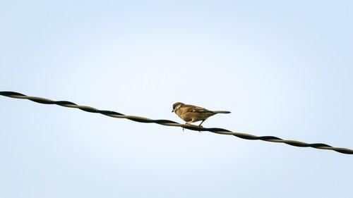 sparrow  sank  beans
