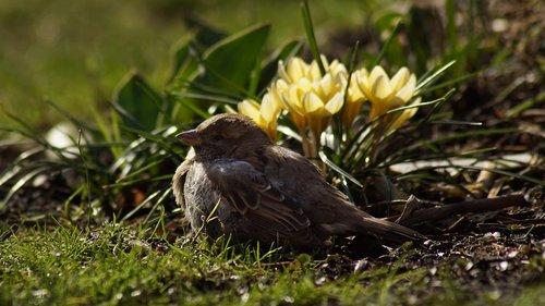 sparrow  house sparrow  2002 bird of the year