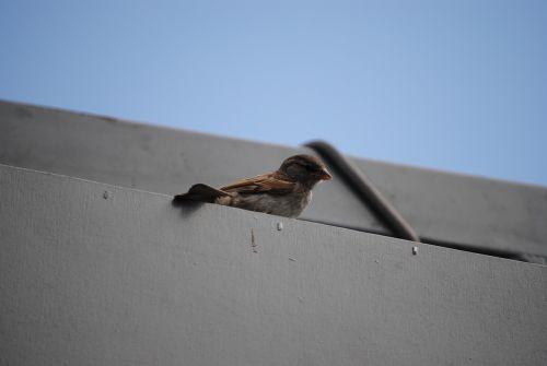 sparrow wait bird