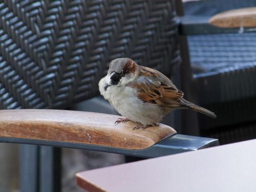 sparrow bird sperling