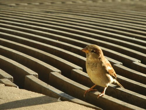 žvirblis,paukštis,plumėjimas