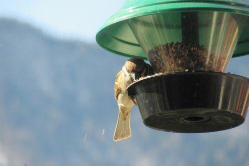 sparrow bird feeders sperling