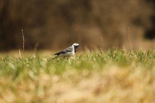sparrow bird grass