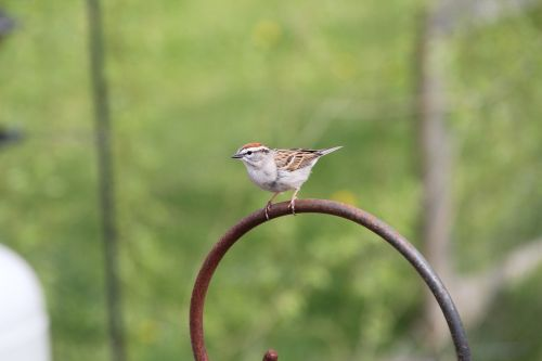 sparrow chipping sparrow bird