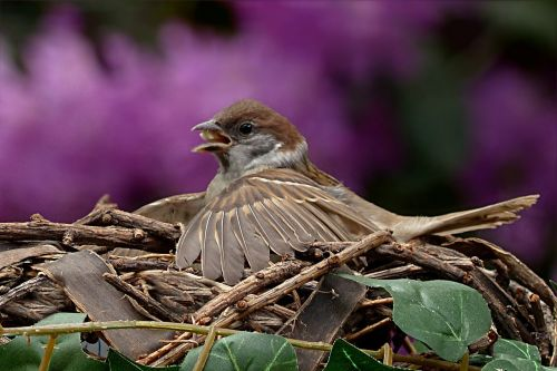 sparrow passer domesticus young