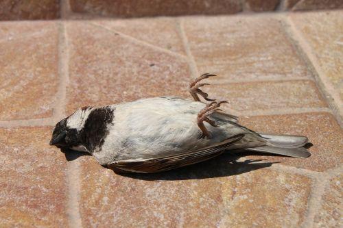 sparrow dead bird