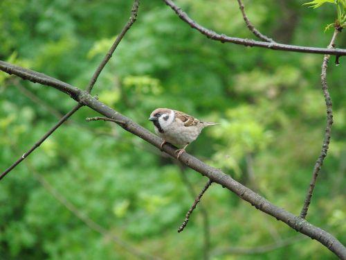 sparrow curiosity birds