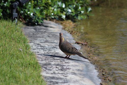 sparrow ground dove turtle dove bird