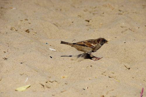 žvirblis, papludimys, smėlis, pašaras, paukščiai, mažas, maistas, šukos, skalauti, tyrinėti, grub, įrašai, trupiniai, likučiai, atliekos, šiukšlės, išmesti, teršia, žvirblis paplūdimyje