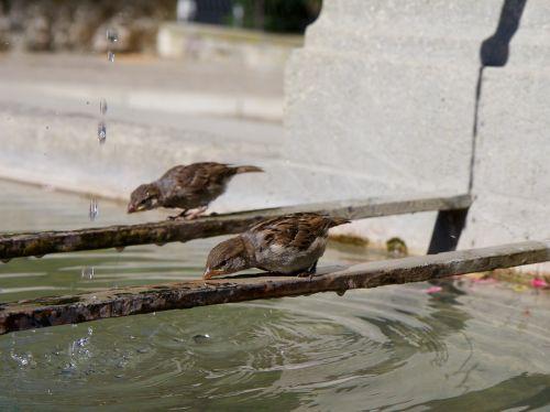 sparrows fountain drink