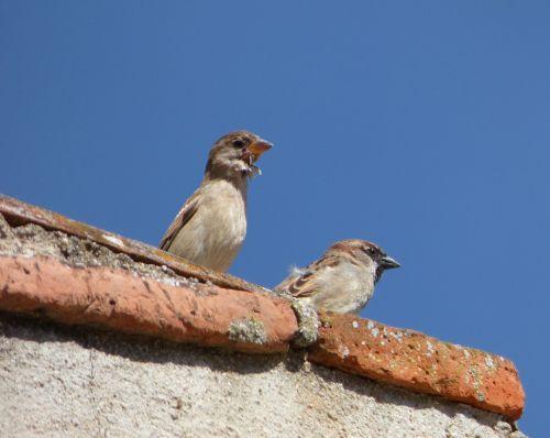sparrows couple lookout