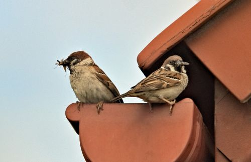 sparrows parents feeding