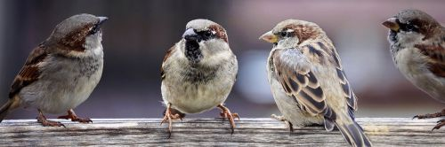 sparrows sparrows family birds