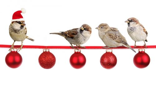 sparrows christmas christmas time