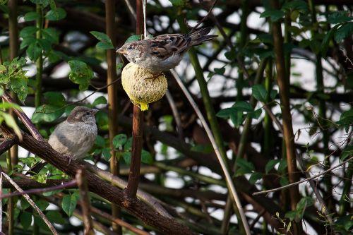 sparrows bird food