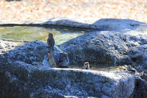 sparrows  swim  bird