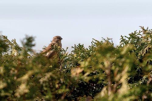 sparrows  birds  nature