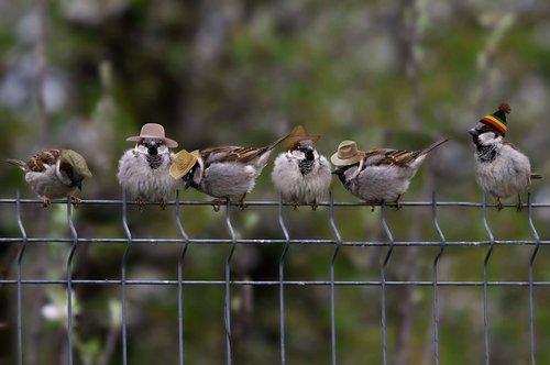 sparrows  hats  funny