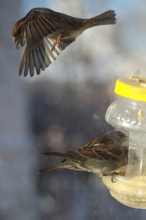 sparrows  winter  russia