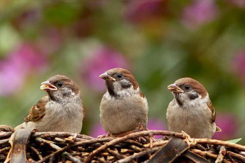 sparrows passer domesticus bird