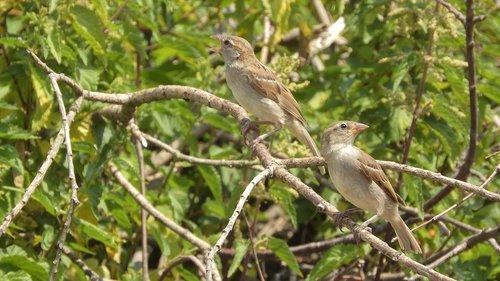 sparrows on a branch  sparrow  house sparrow
