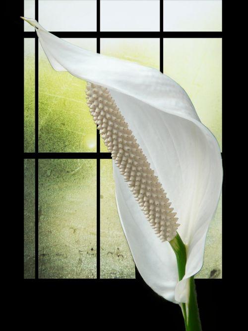 spathiphyllum flower white