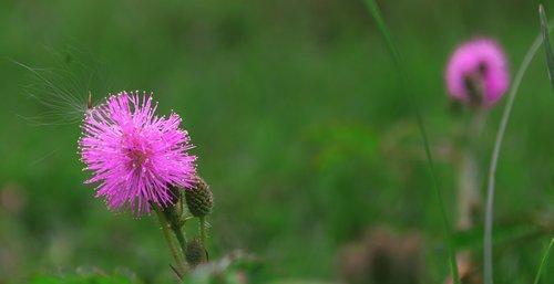 spear thistle  flower  plant