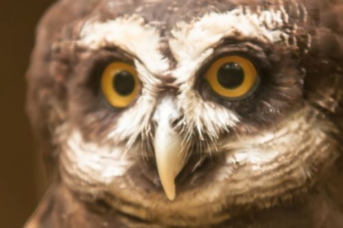 Spectacle Owl