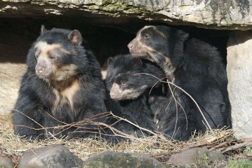 spectacled bear family zoo