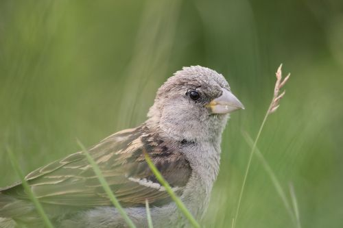 sperling sparrow bird