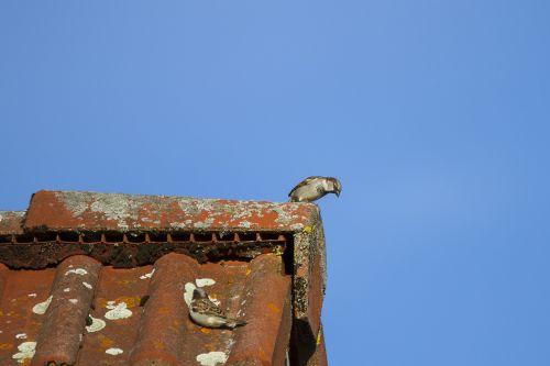 sperling house sparrow hide