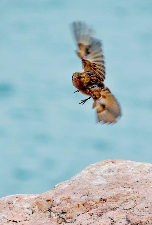 sperling bird songbird
