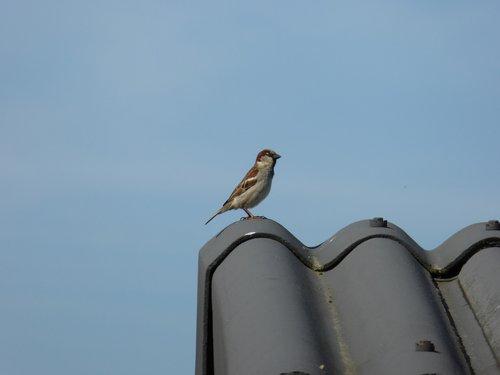sperling  songbird  bird