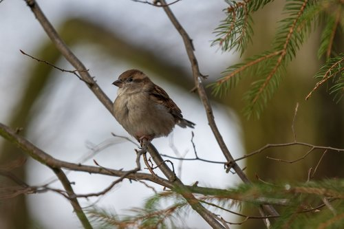 sperling  sparrow  house sparrow