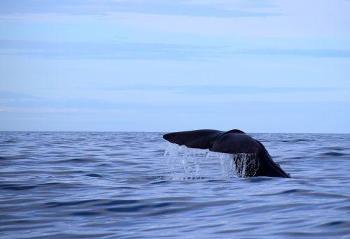 sperm whale norway nordland
