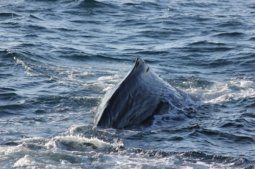 sperm whale  sperm whale back  diving
