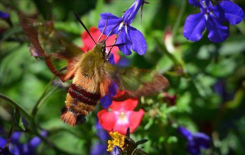sphinx moth sphinx hummingbird flowers