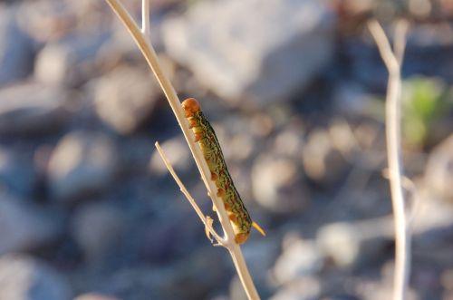sphinx moth caterpillar caterpillar nature