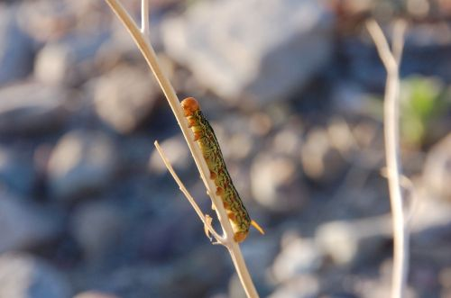sphinx moth gaterija,vikšras,gamta,entomologija,klaida,mirties slėnis