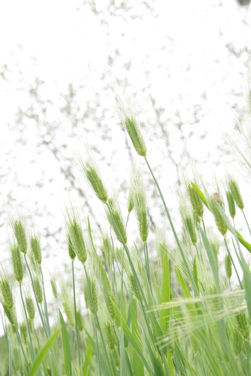 spica tabitha barley