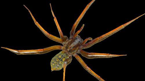 spider arachnids animals