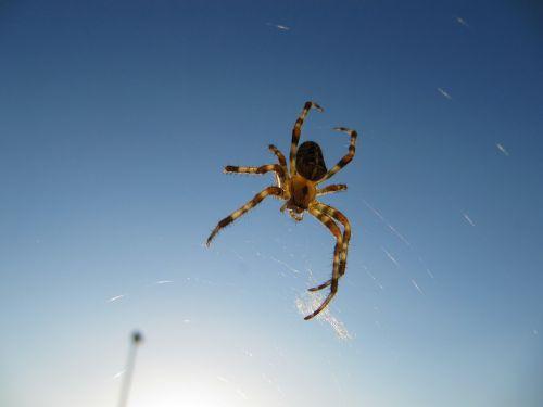 spider insect arachnid
