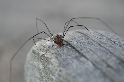 spider granddaddy longlegs invertebrate