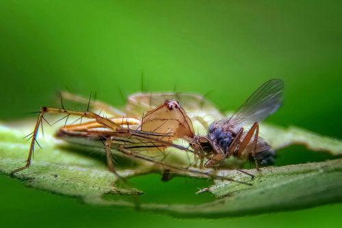 spider hunter prey