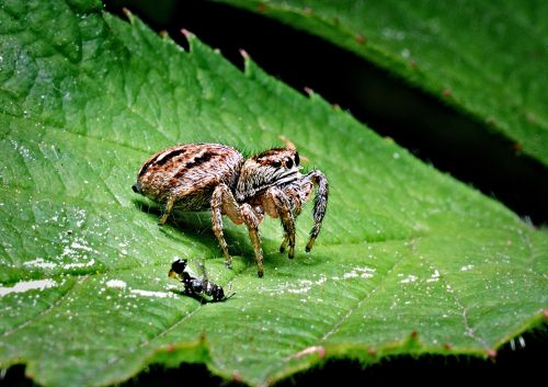 spider victim macro