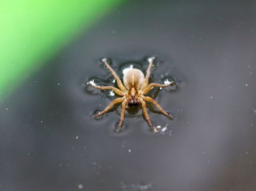 spider insect water